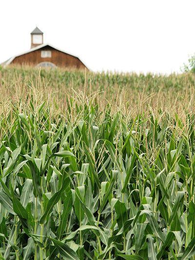 Corn photo by takomabibelot. Licensed via Creative Commons.